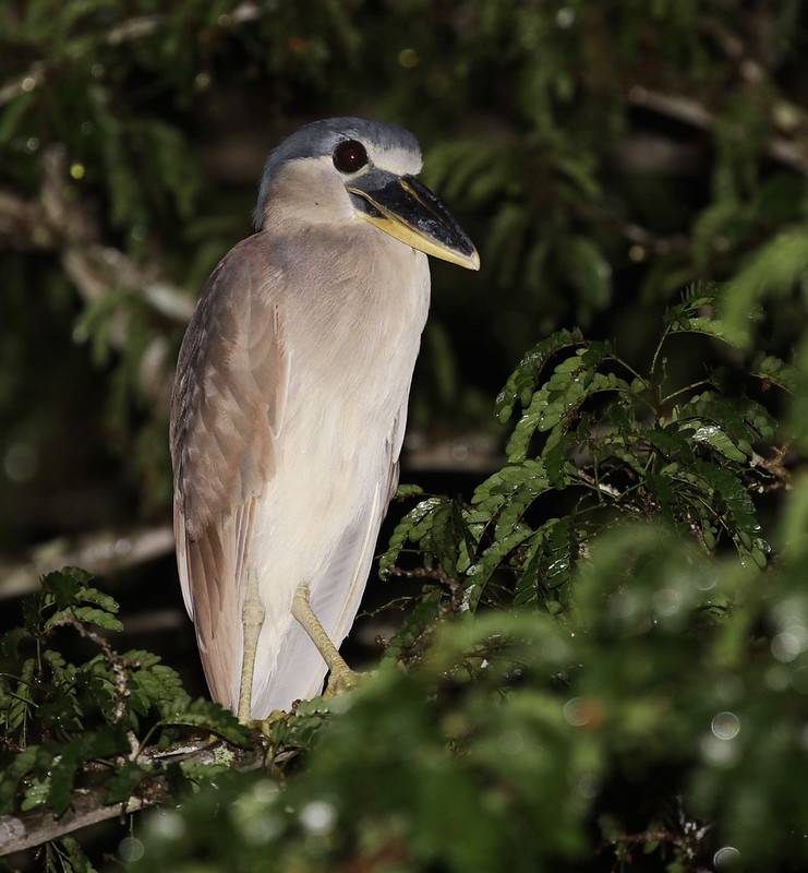 Boat-billed Heron_Cochlearius cochlearius_Ascanio_Guyana_199A4913