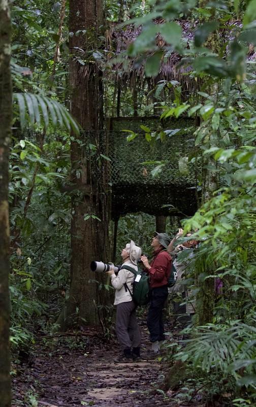Birding Iwokrama Reserve_Guyana_Ascanio_199A5216