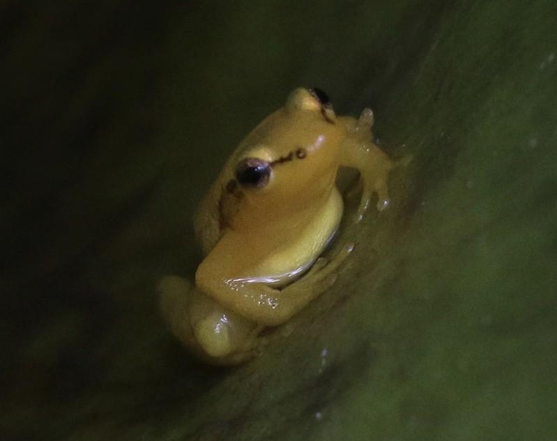 Beebe's Rocket Frog_Anomaloglossus beebei_Guyana_Ascanio_199A4831