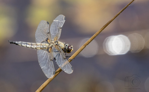 ♂ Four-spotted Chaser with bokeh