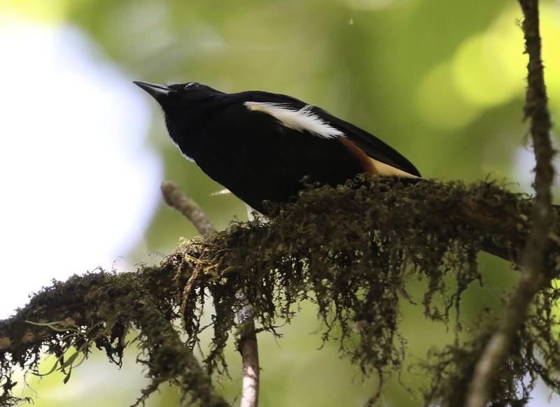 Fulvous-crested Tanager_Tachyphonus surinamus_Guyana_Ascanio_199A4843