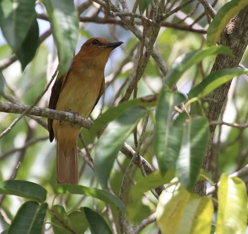 Cinnamon Attila_Attila cinnamomeus_Guyana_Ascanio_199A4277