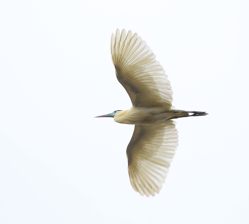 Capped Heron_Pilherodius pileatus_Guyana_Ascanio_199A4951