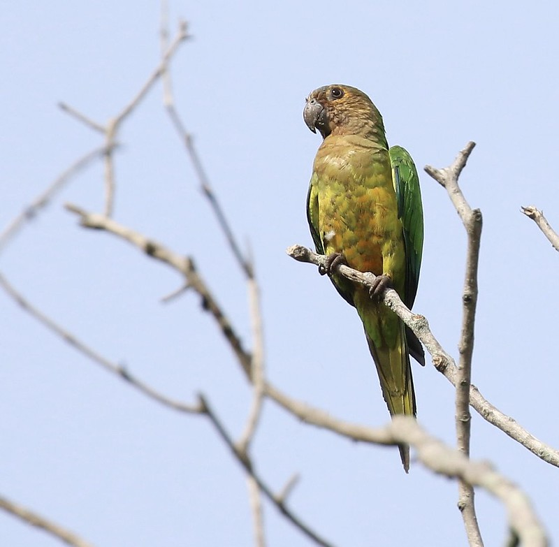 Brown-throated Parakeet_Psittacara pertinax_Guyana_Ascanio_199A4116