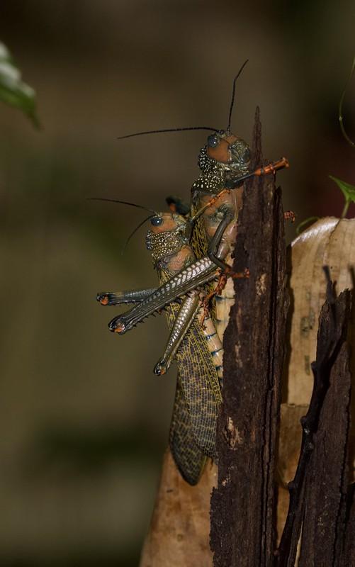 Locust_Acrididae_Guyana_Ascanio_199A5245