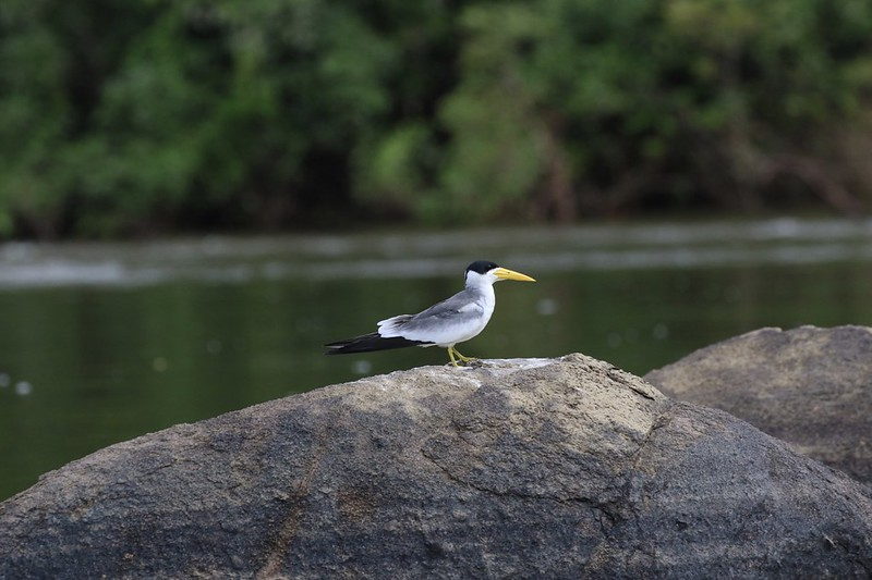 Large-billed Tern_Phaetusa simplex_Guyana_Ascanio_199A5022