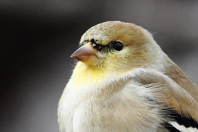 American Goldfinch, extreme crop