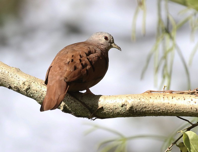 Ruddy Ground Dove_Columbina talpacoti_Ascanio_GUyana_199A3958