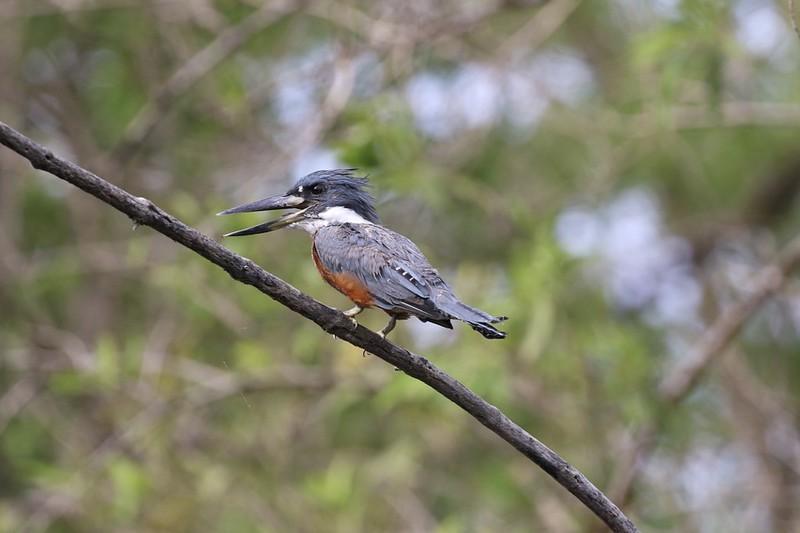 Ringed Kingfisher_Megaceryle torquata_Guyana_Ascanio_199A4566