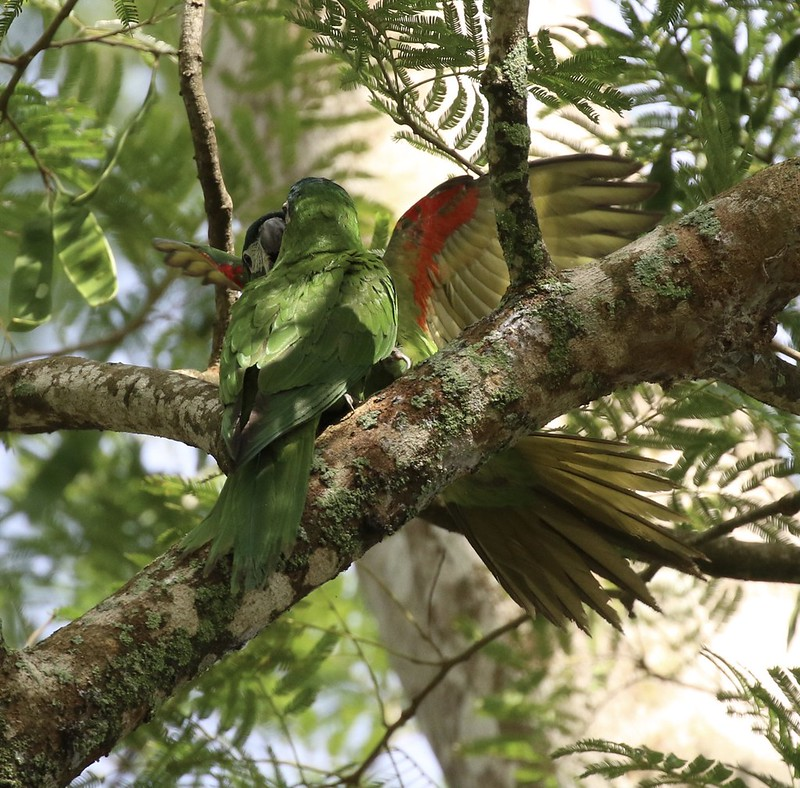 Red-shouldered Macaw_Diopsittaca nobilis_Ascanio_Guyana_199A3872