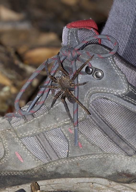 Spider_Guyana_Ascanio_199A5101