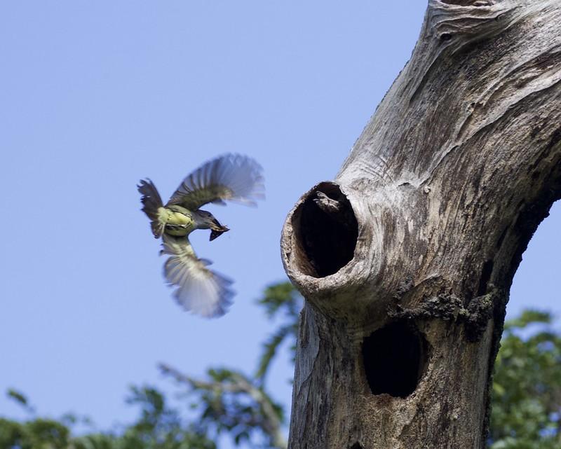 Short-crested Flycatcher_Myiarchus ferox_Guyana_Ascanio_199A4017