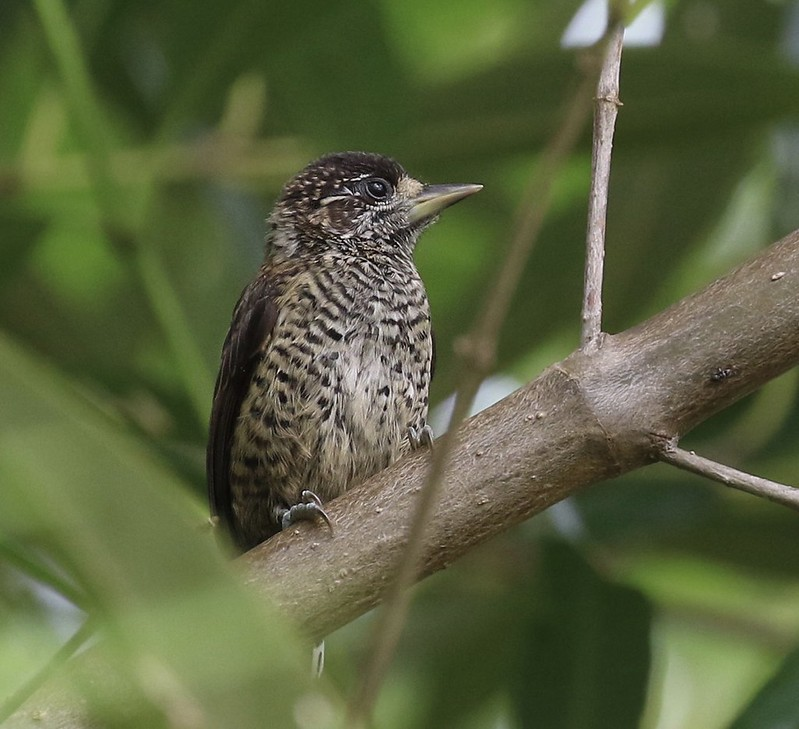 White-bellied Piculet_Picumnus spilogaster_Guyana_Ascanio_ 199A4501