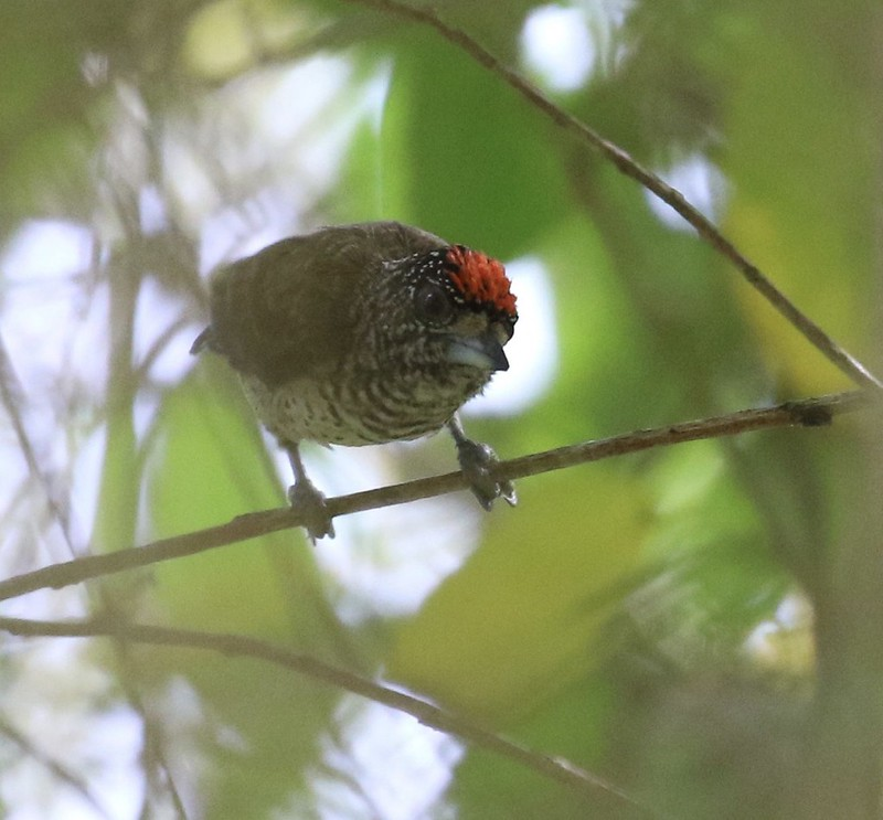 White-bellied Piculet - Picumnus spilogaster?this sp?_Hope channel_Coastal Guyana_Ascanio_199A4148