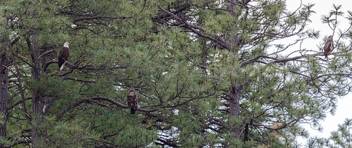 3_bald_eagles_in_tree-20200101-100