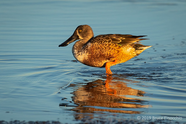 A Male Northern Shoveler In Winter Plumage Steps Across Shallow Water