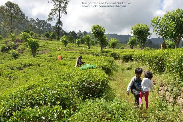 Tea gardens of Central Sri Lanka
