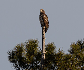 juvenile_bald_eagle-20200101-100 | by Dagny Gromer