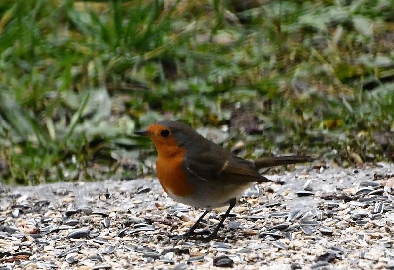 Robin 01.01 (2)