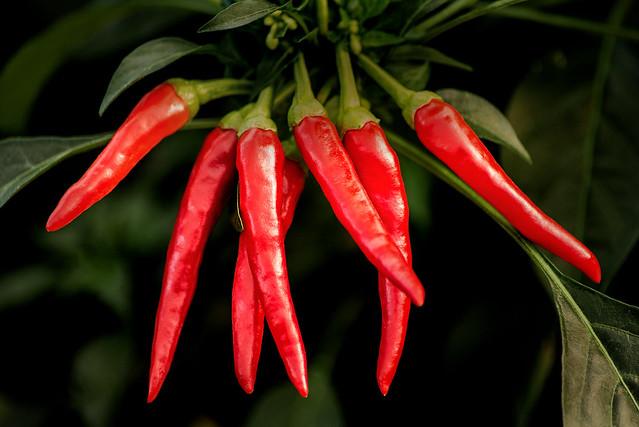 Chili Peppers 3-0 F LR 10-4-19 J054