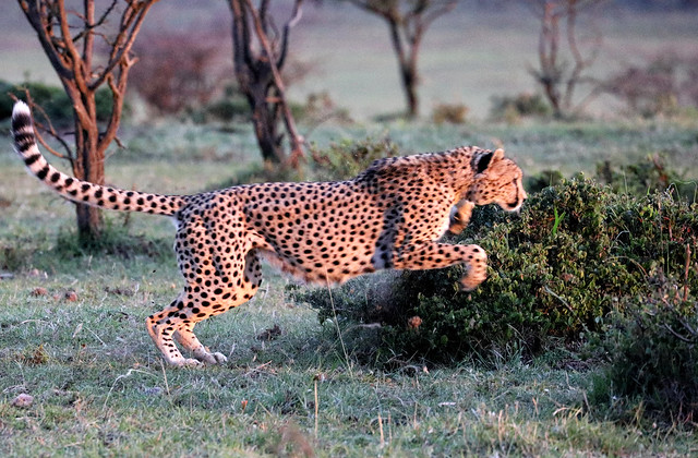 One of Fast Five cheetah coalition