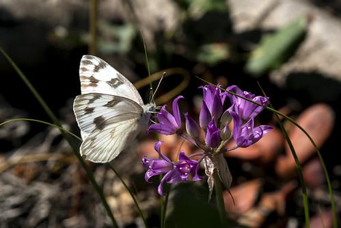 westernwhite butterfly shortstyledonion pontiaoccidentals alliumbrevistylum colorado uncompahgreplateau