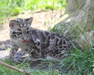 Clouded leopard cub 237