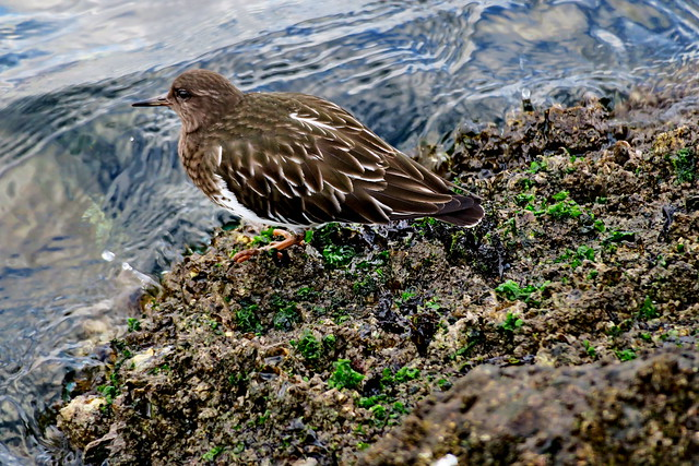 Black Turnstone, Seattle, WA 1/1/20