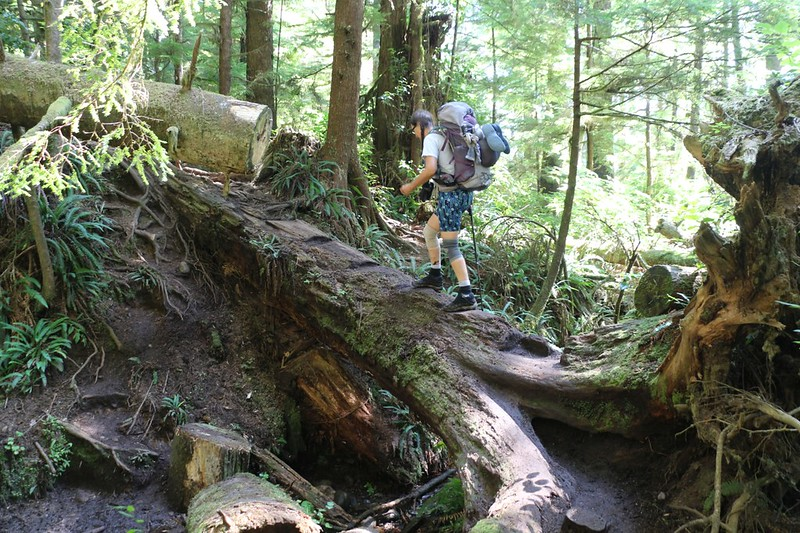 Steps carved into a large fallen tree becomes the trail through this section of rainforest