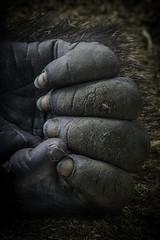 Lowland Gorilla Fingers