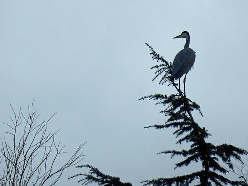 Heron Aloft