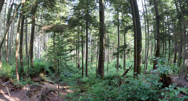 Beautiful open pine forest as the West Coast Trail descends to the Camper Bay Campsite from the north