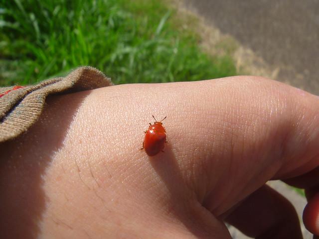 Unknown specie 033 Orange Beetle, Coleoptera, Insecta. Escarabajo naranja