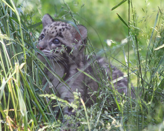 Clouded leopard cub 432