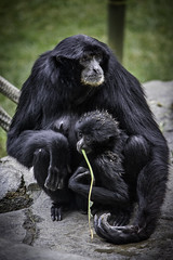 Female Siamang with Baby