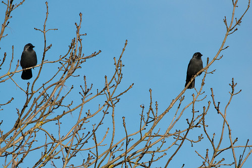 Jackdaws on the lookout, Northycote
