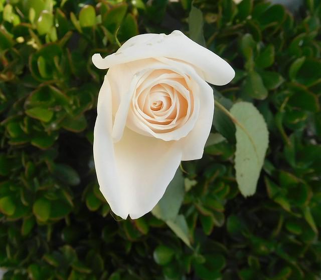 white rose 646