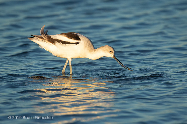 Female American Avocet In Winter Plumage With Muddy Water Trapped In Beak From Feeding