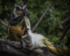 Wolf Monkeys Preening