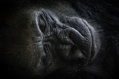 Lowland Gorilla Sleeping Face