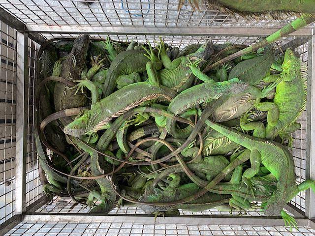 屏東縣政府抓綠鬣蜥