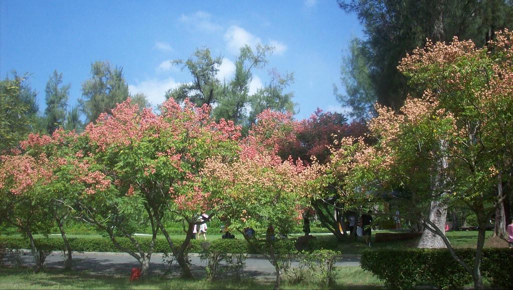 台灣欒樹。攝影:廖靜蕙