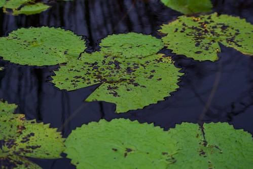 Lagoon Lillipads