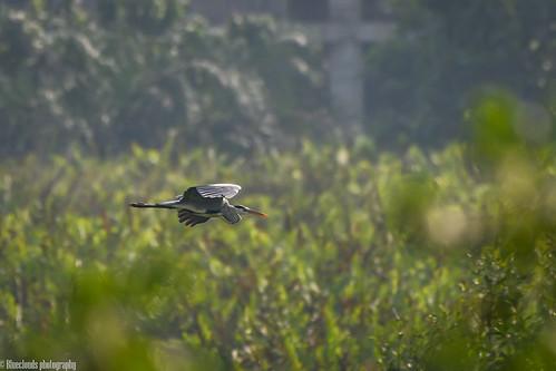 nikon d850 200500 f56 birds blue heron unilag lagos