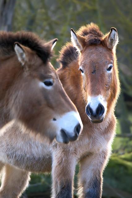 Przewalskipferde / Przewalski's horses (Equus ferus przewalskii)