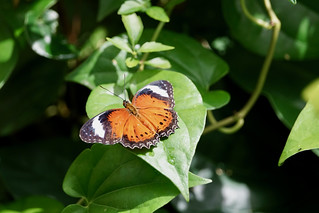 Red lacewing, butterfly house, Melbourne Zoo | by Joe Lewit