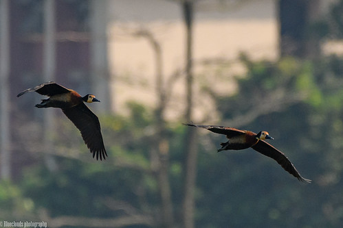 nikon d850 200500 f56 birds whitefaced whistling ducks unilag lagos