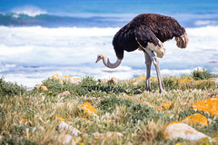 Ostrich at the Cape