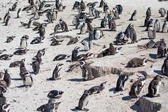 Penguin Colony (2)