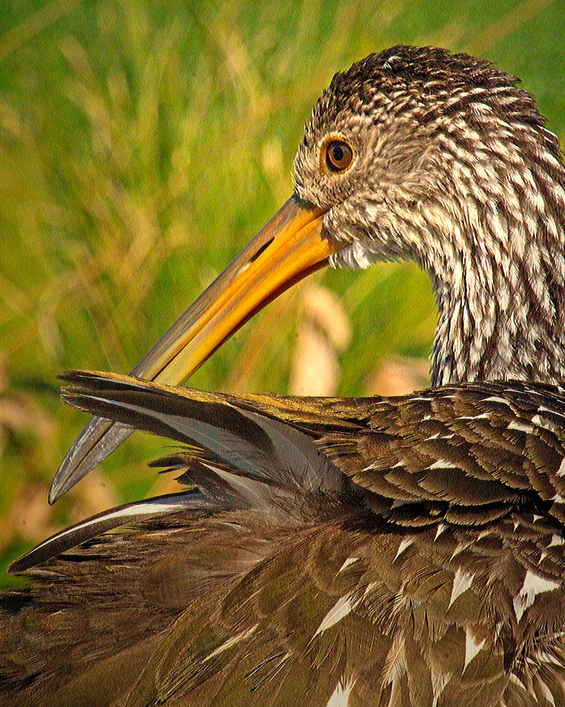 2019.12.31 Sweetwater Wetlands Limpkin 11